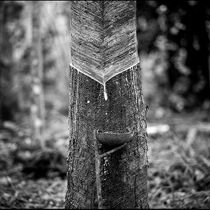 SUSTAINABLE NATURAL RUBBER